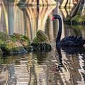 Black Swan by Charles Hite