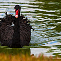 Black Swan by Ed Gleichman