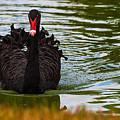 Black Swan by Ed Gleichman