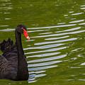 Black Swan II by Ed Gleichman