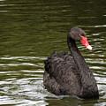 Black Swan by Laurel Powell