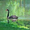 Black Swan Swim In A Pond by Robin Cordero
