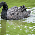 Black Swan by Teresa Blanton