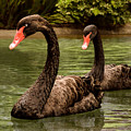 Black Swans At Napa California by Brian Tada