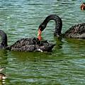 Black Swans by Martina Fagan