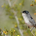 Black-tailed Gnatcatcher by Richard Eastman