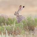 Black-tailed Jackrabbit Keeps Watch by Tony Hake