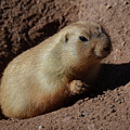 Black Tailed Prairie Dog Climbing Out Of A Hole by DejaVu Designs