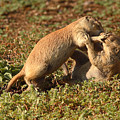 Black-tailed Prairie Dogs Wrestling Around by Max Allen