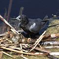 Black Tern On Nest by Doris Potter