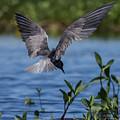Black Tern by Rhonda Robinson