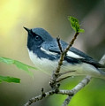 Black-throated Blue Warbler by Mary Dineen