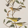 Black Throated Green Warbler Blackburnian Mourning Warbler by John James Audubon