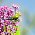 Black Throated Green Warbler by Christina Rollo