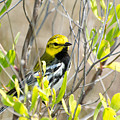 Black-throated Green Warbler by Royal Tyler