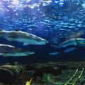 Black Tip Sharks by Jill Lang