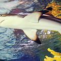 Black Tipped Reef Shark by Steve Somerville