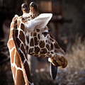 Black Tongue Of The Giraffe by Jennifer Mitchell