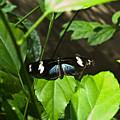 Black Tropical Butterfly by Douglas Barnett
