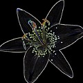 Black Velvet Lily by Deborah J Humphries