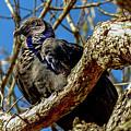 Black Vulture by Marilyn Burton