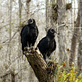 Black Vultures by David Lee Thompson