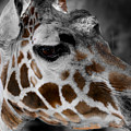 Black  White And Color Giraffe by Anthony Jones