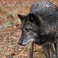 Black Wolf by Jim DeLillo