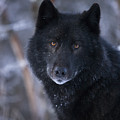 Black Wolf Portrait by John Hyde - Printscapes