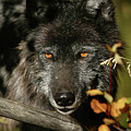 Black Wolf by Ronnie and Frances Howard