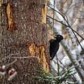Black Woodpecker Peek by Jouko Lehto