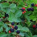 Blackberries 1 by Kathryn Meyer