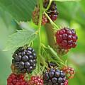 Blackberry by Cosmin-Constantin Sava
