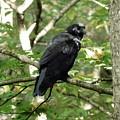 Blackbird by Barb Montanye Meseroll