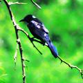 Blackbird by Bill Cannon