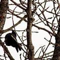 Blackbird In A Tree by William Tasker