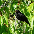 Blackbird In The Cherry Tree by Valerie Ornstein