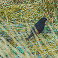 Blackbird In The Undergrowth by Marc Daly