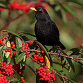 Blackbird Red Berries by Peter Walkden