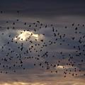 Blackbird Sunset by Gene Ritchhart