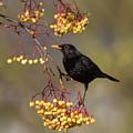 Blackbird Yellow Berries by Peter Walkden