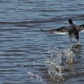 Blackduck Takeoff Run by Wayne Williams
