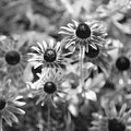 Blackeyed Susans In Black And White by Paula Coley