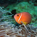 Blackfoot Anemonefish Hosted In A Magnificent Sea Anemone by Sami Sarkis