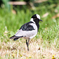 Blacksmith Lapwing by Dave Whited