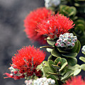 Blazing Blooms Of Ohia Flowers by Mihaela Nica