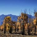 Blazing Cottonwoods by Mitch Johanson