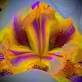 Blazing Heart Of An Iris by Tim G Ross