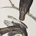 Blck Warrior by John James Audubon