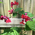 Bleeding Heart Clerodendrum 2 by Aimee L Maher ALM GALLERY